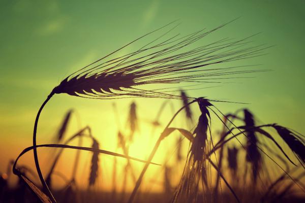 """Motiv """"Grain"""" für Infrarotheizung ISP-MGi von Technotherm"""